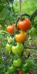 うちの畑のトマト