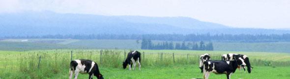 ステーキがミニチュアの牛で出てきたら、果たして食べられるだろうか?