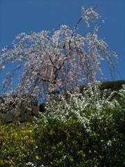 満開のしだれ桜@徳島・眉山