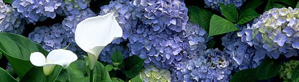 あじさいの花の季節