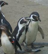 ペンギンのくちばし