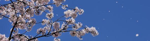 桜舞い散る季節